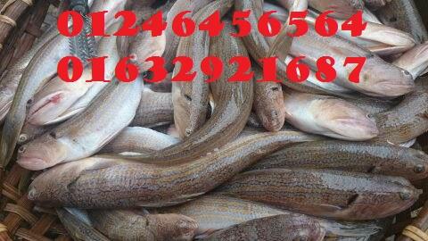 Chả cá mối Vũng Tàu được làm từ những con cá tươi ngon